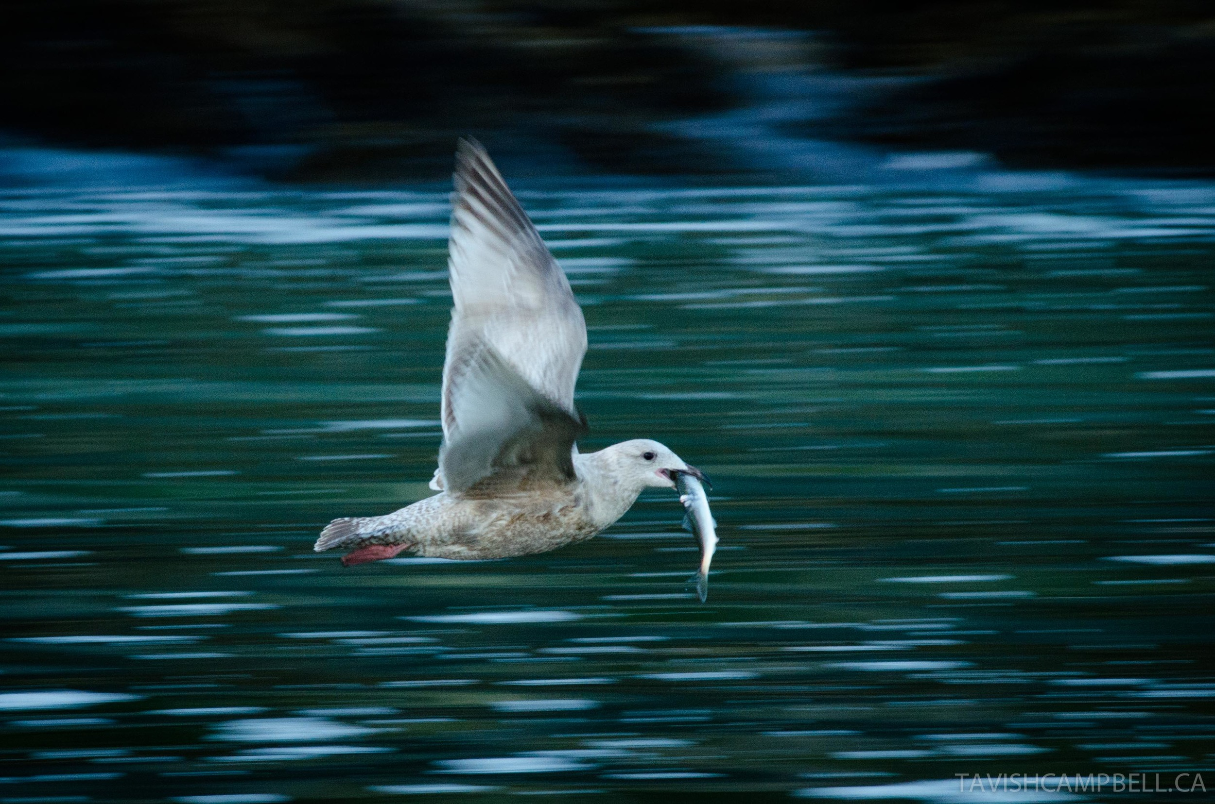 The spring herring spawn on our coast is an event of a magnitude similar to the fall return of salmon. Countless species gather to partake in the feast these small fish offer. This young herring gull is doing what it has evolved perfectly to do: eat herring.