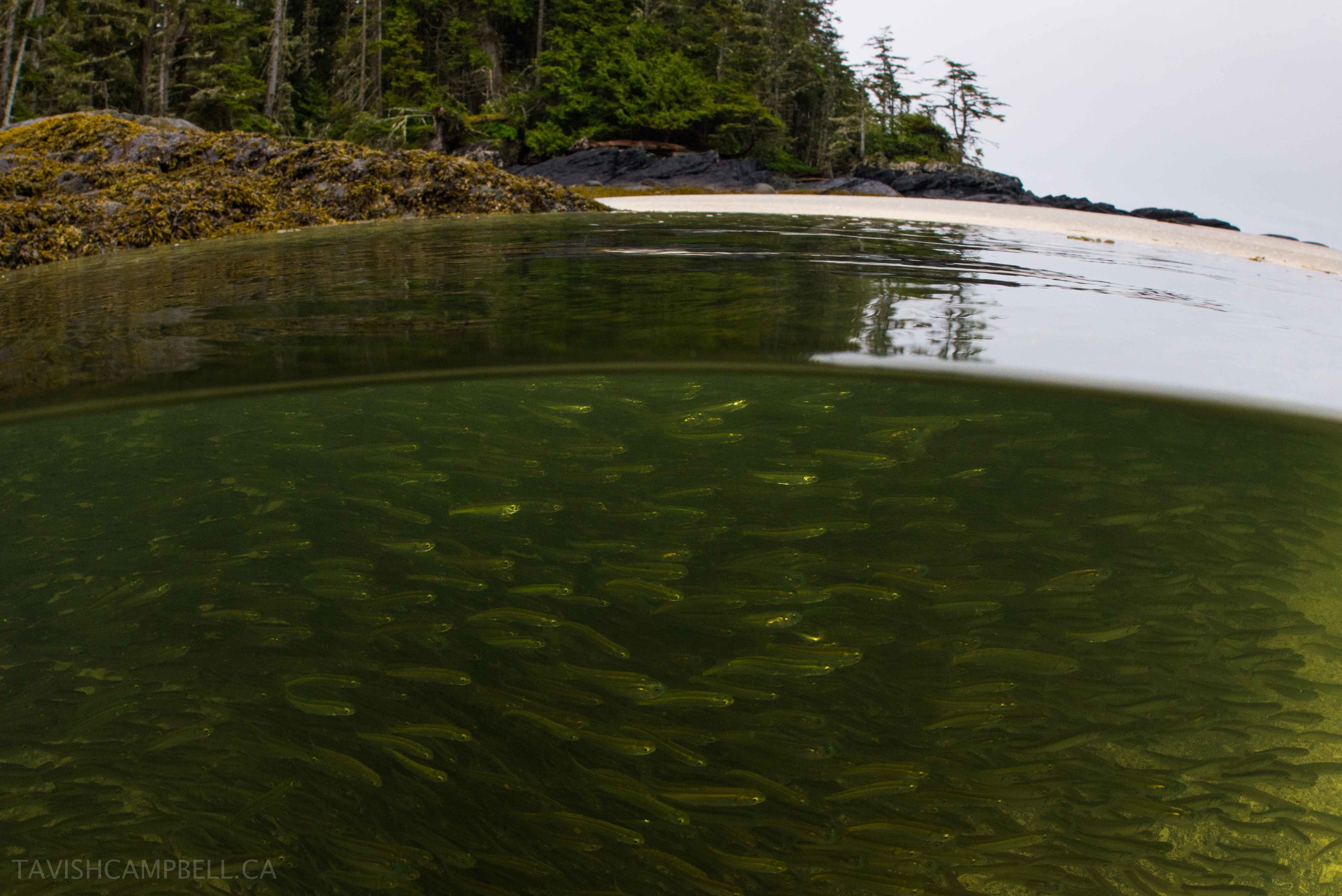 Juvenile pink salmon seek the protection of sheltered bays along East Kinahan Is. after leaving the Skeena River on their migration to the open ocean.