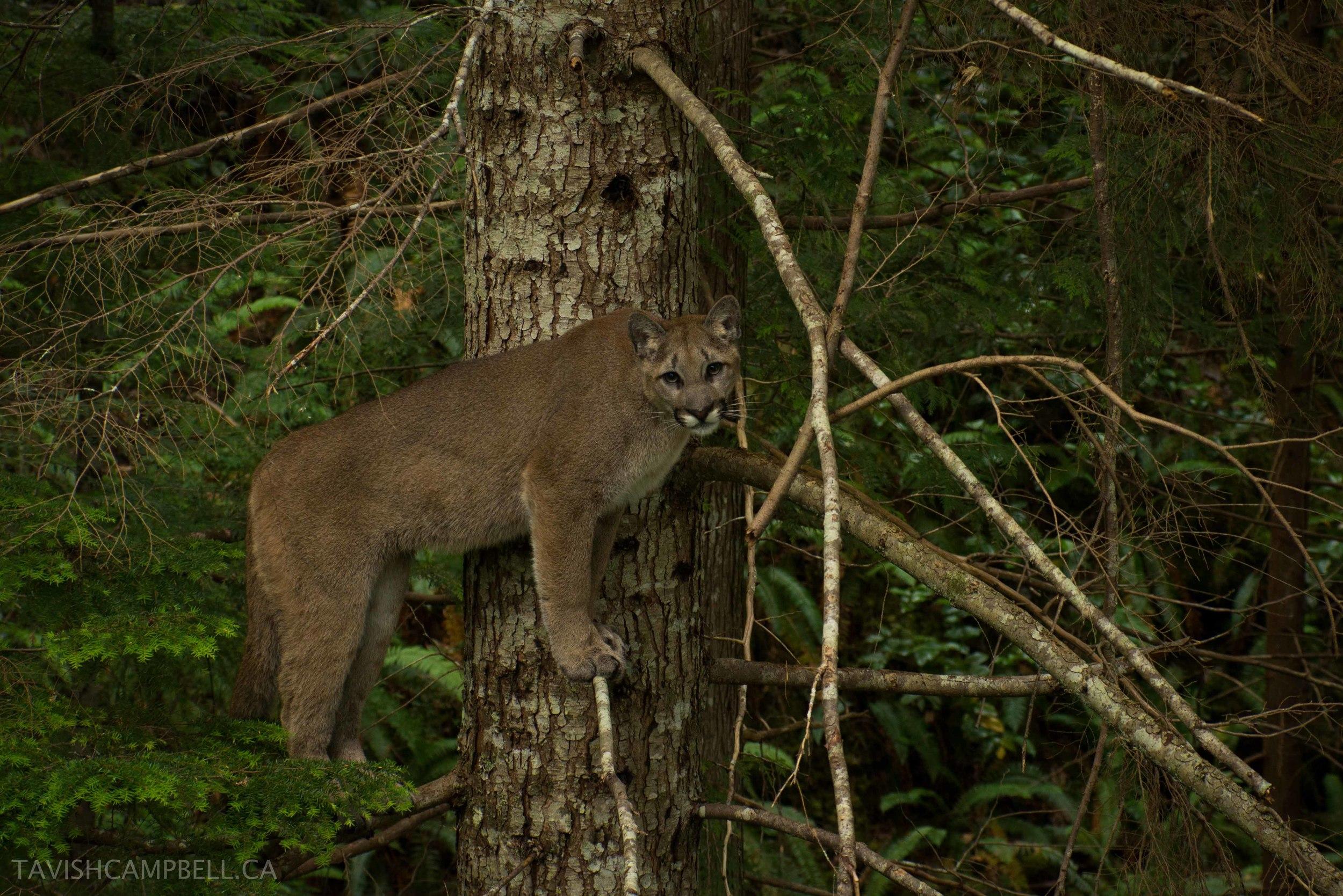 cougar©tavishcampbell.ca