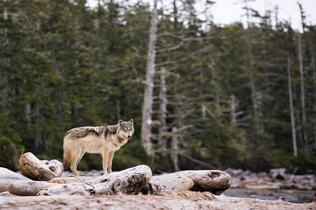 Coastal Seawolf ——— No more grizzly bear trophies, now for the wolves! It is always a powerful experience catching a glimpse of these elusive creatures. #endtrophyhunting #wildwolves #greatbearrainforest #seawolf