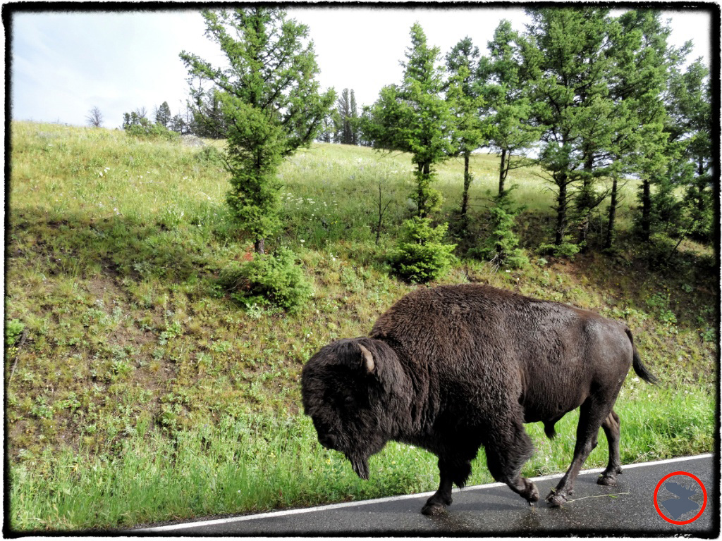 BMP-Post_Yellowstone_Bison2_October-2014.jpg