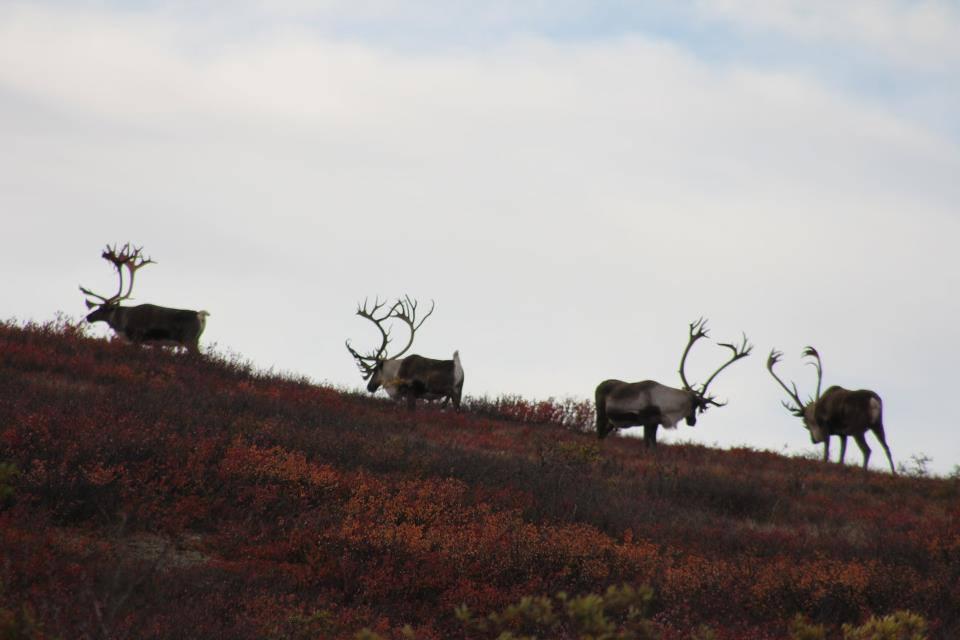 BMP Post_Expedition Log_Denali_Caribou_October 2014.jpg
