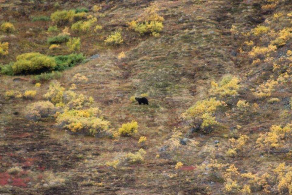 Bear in Denali | www.BullMoosePatrol.com