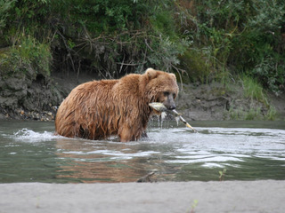 Grizzly spotted on the Noatak River.  Photo courtesy of Bob O'Hara.