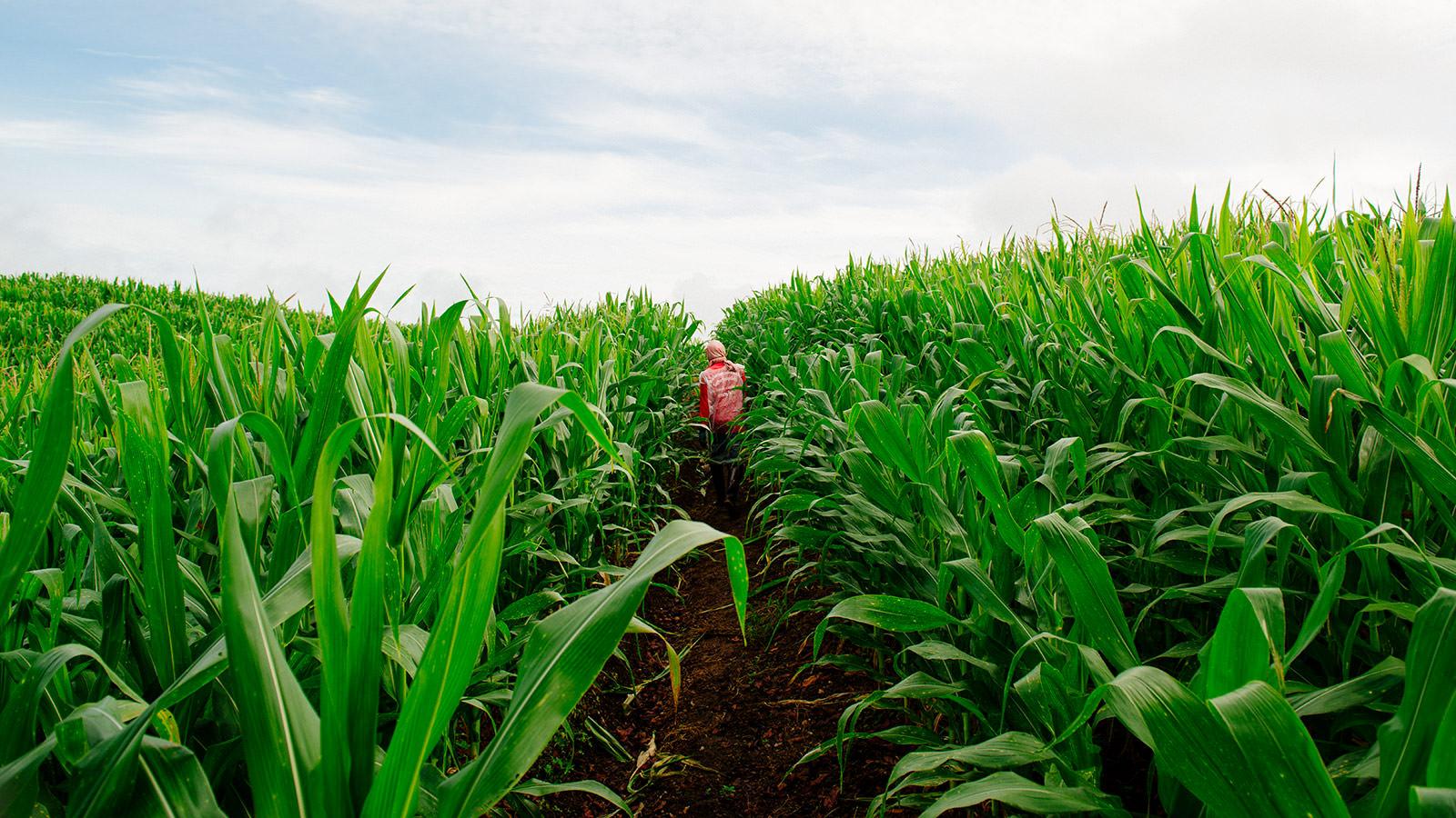 Corn field near the Thai-Burma border