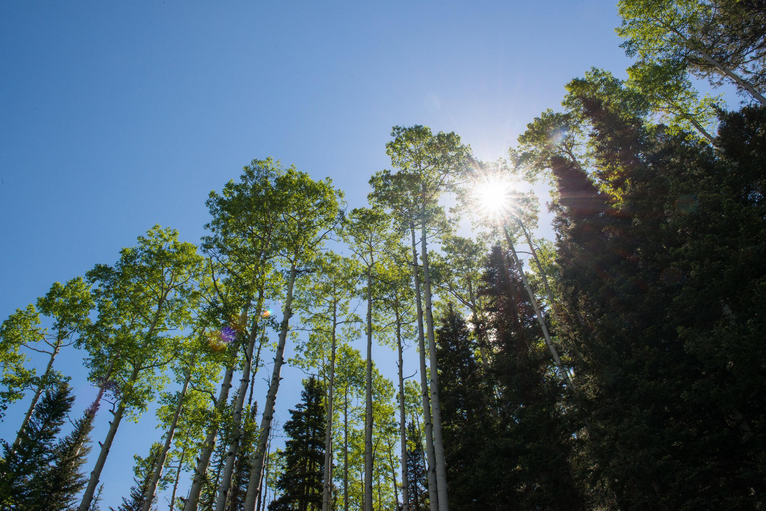 Towering aspen in the Colorado Rockies