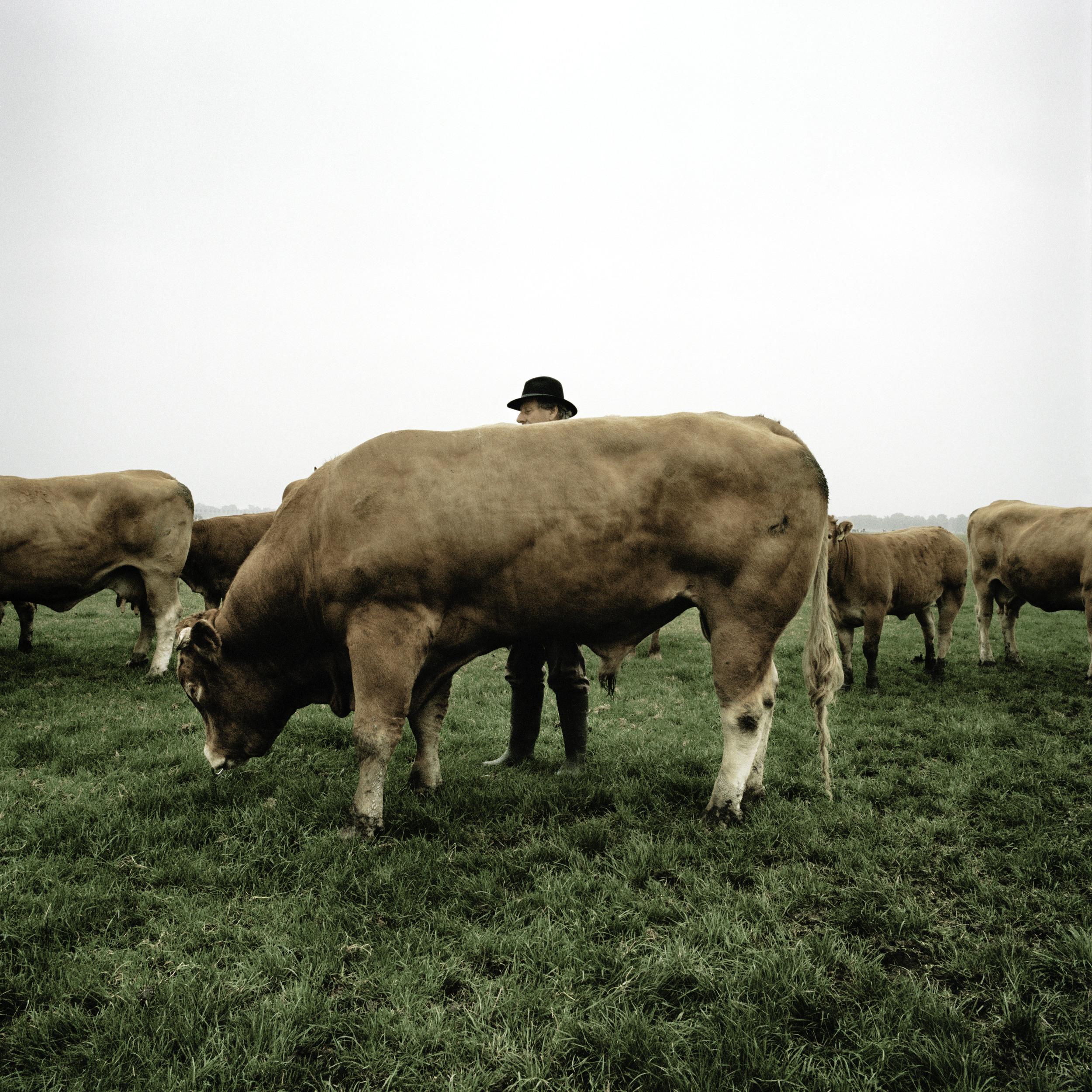 Evert Hogenes en Limousin stier, Middenbeemster