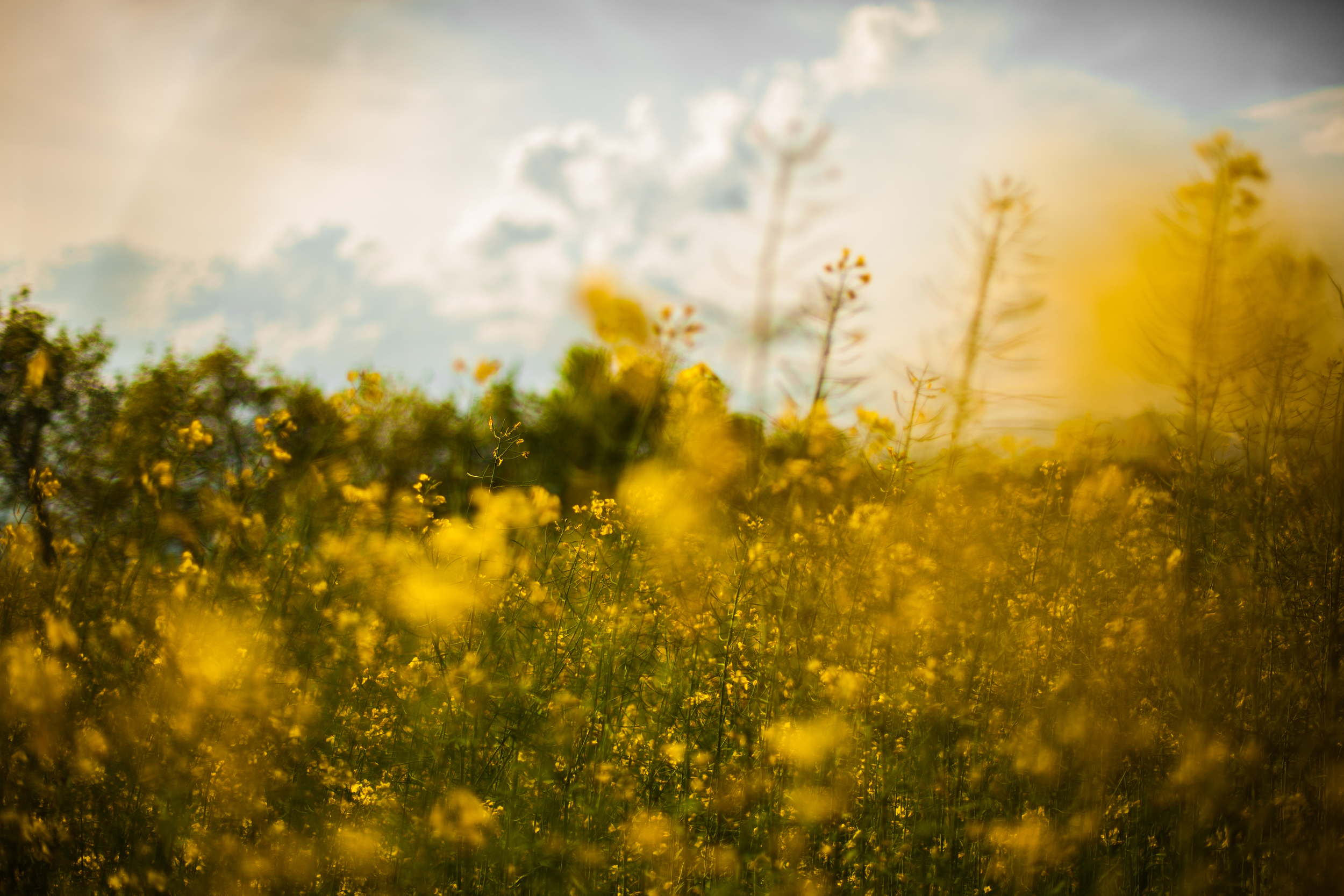 nature-field-flowers-yellow.jpg