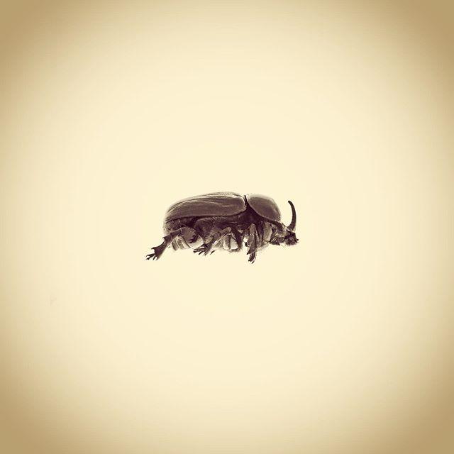 Rhinosceros Beetle, Xyloryctes jamaicensis.  #aphotographicsurvey #artscience  #bug #biodiversity #entomology #ecology #ecologicalart #huffpostarts #iphone #beetle #rhinoceros #minimal #nature #naturephotography #naturelovers #photoftheday #science #sciart #shotoniphone #typology #thephotosociety