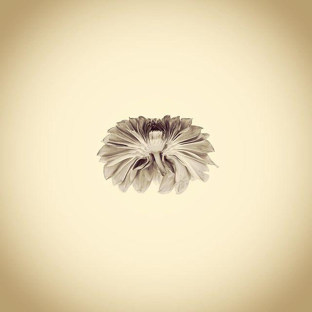 Cornel Bronze Dahlia Cross Section, Dahlia sp.  #aphotographicsurvey #artandscience #artandecology #botanical #botanicalart #botany #ecology #flower #iphone #minimal #naturephotography #naturalhistory #sciart #science #typology #shotoniphone #thephotosociety #dahlia