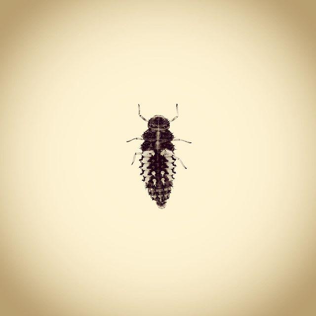 Harlequin Ladybird Larva, Harmonia axyridis  #aphotographicsurvey #artscience  #bug #biodiversity #entomology #ecology #ecologicalart #huffpostarts #iphone #minimal #nature #naturephotography #naturelovers #photoftheday #science #sciart #shotoniphone #typology #thephotosociety #ladybird #ladybug