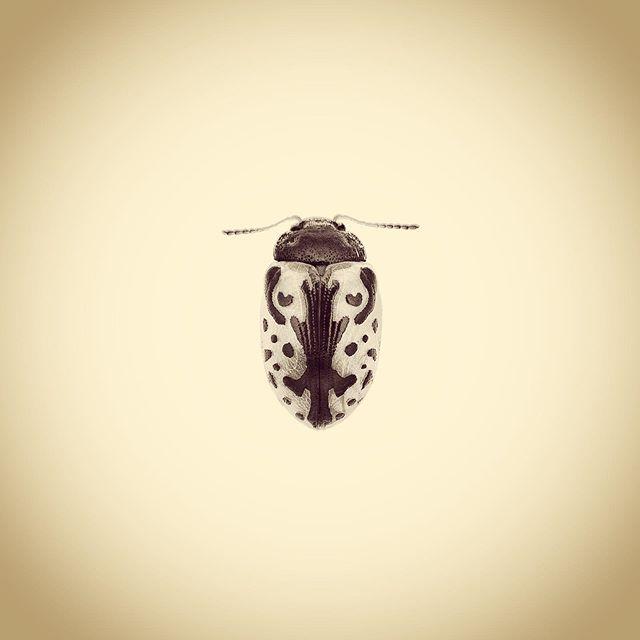 Calligrapha Beetle, Calligrapha sp.  #aphotographicsurvey #artscience  #bug #biodiversity #entomology #ecology #ecologicalart #huffpostarts #iphone #minimal #nature #naturephotography #naturelovers #photoftheday #science #sciart #shotoniphone #typology #thephotosociety #calligraphy #pattern #symmetry