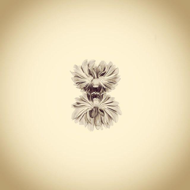 Cornel Bronze Dahlia Double Cross Section, Dahlia sp.  #aphotographicsurvey #artandscience #artandecology #botanical #botanicalart #botany #ecology #flower #iphone #minimal #naturephotography #naturalhistory #sciart #science #typology #shotoniphone #thephotosociety #dahlia