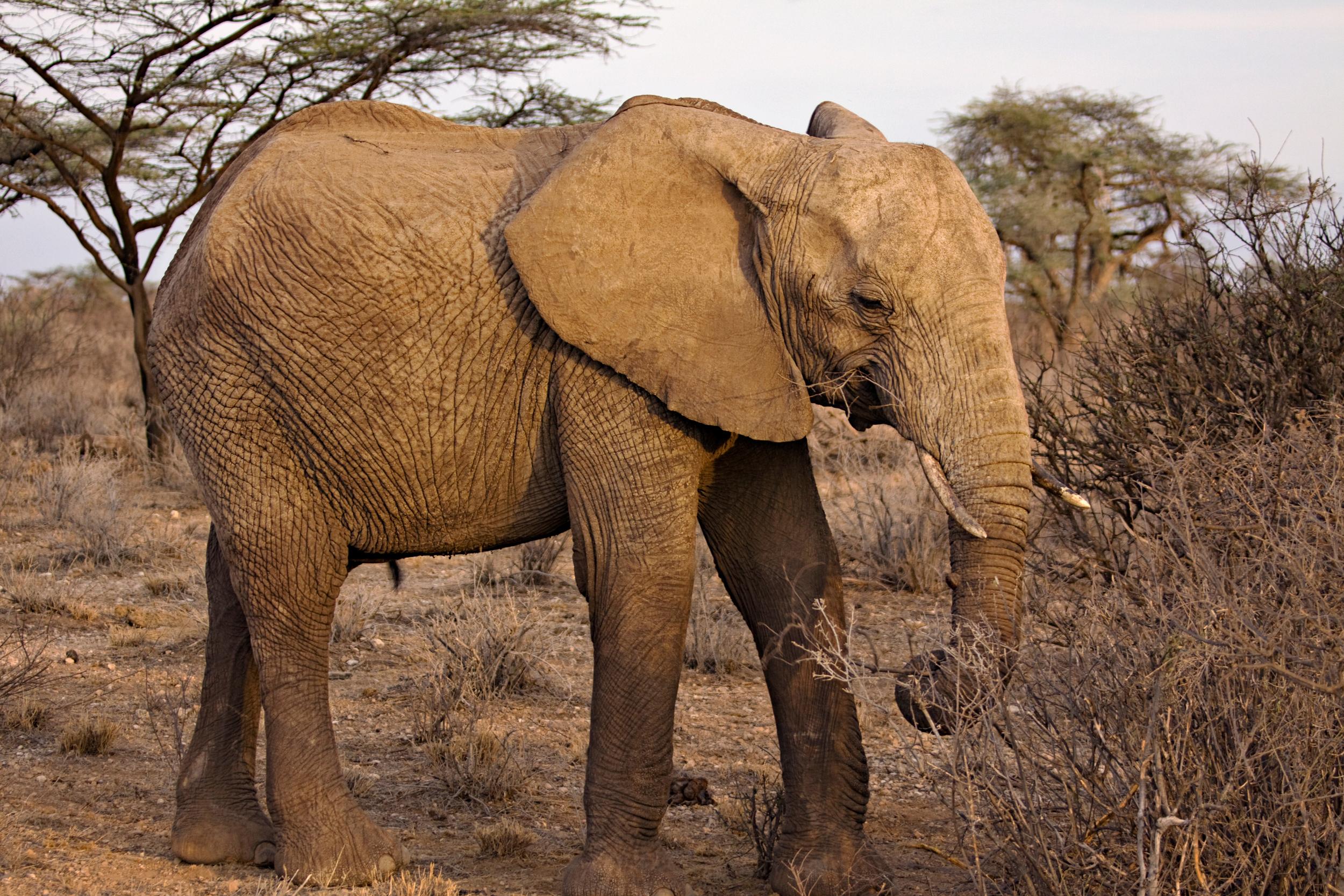 African Elephant, Samburu Natonal Park