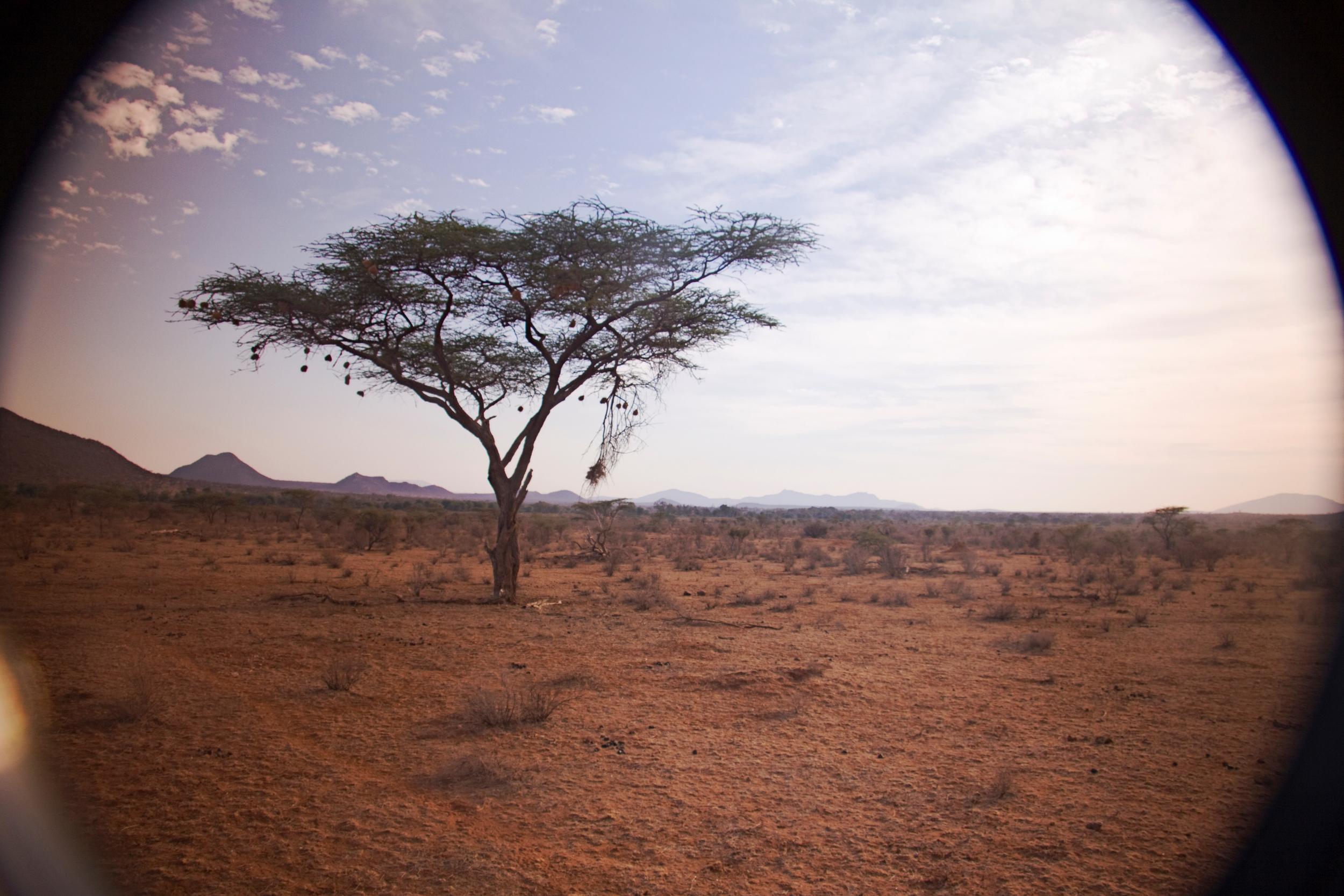 Acacia Tree, Samburu National Park