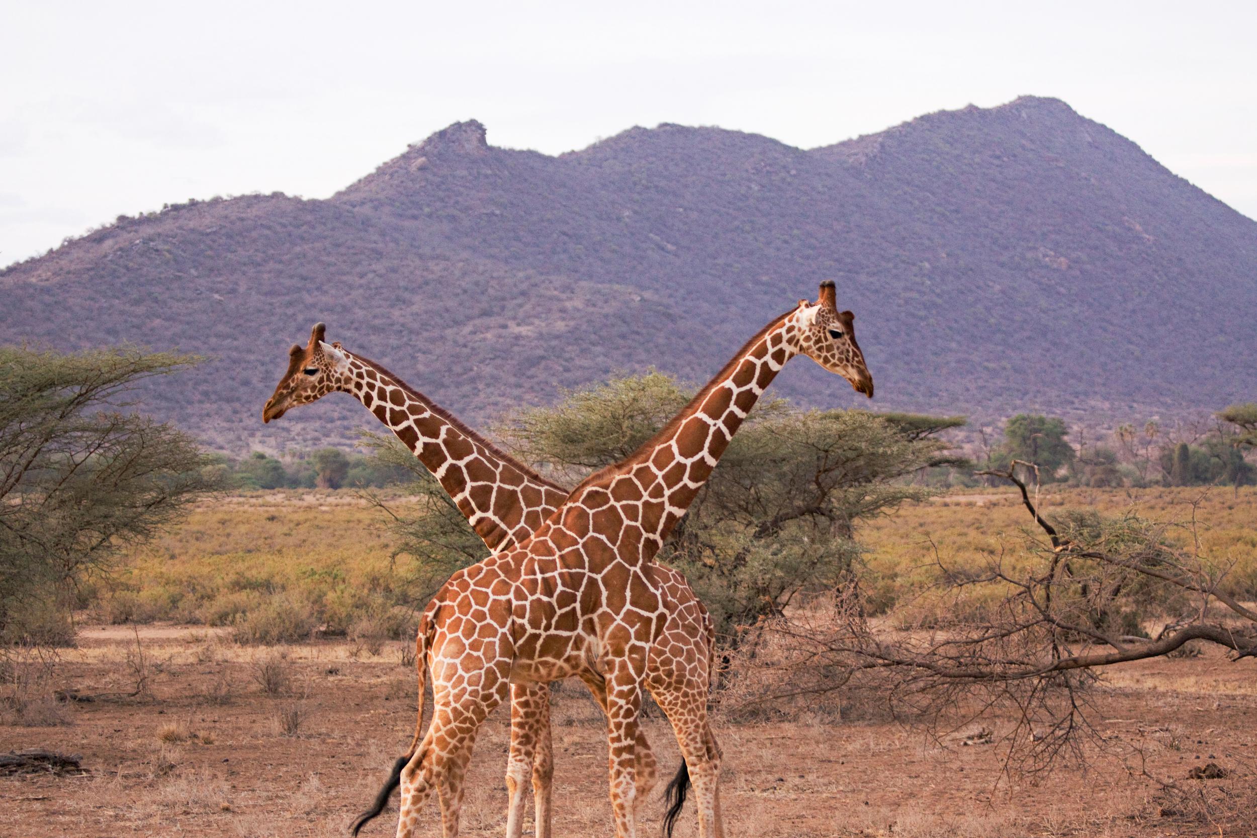 Reticulated Giraffes, Samburu National Park