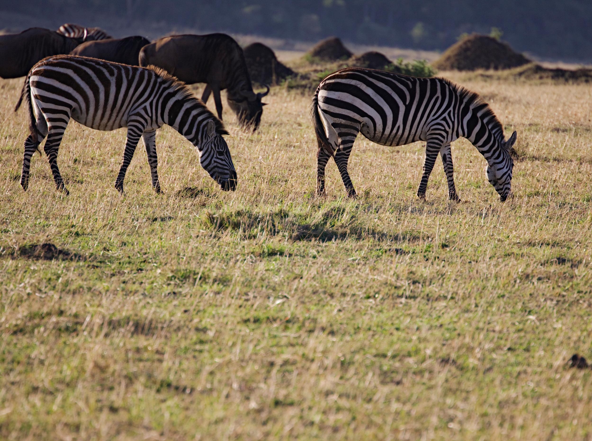 Common Zebras, Wildebeast, Masai Mara