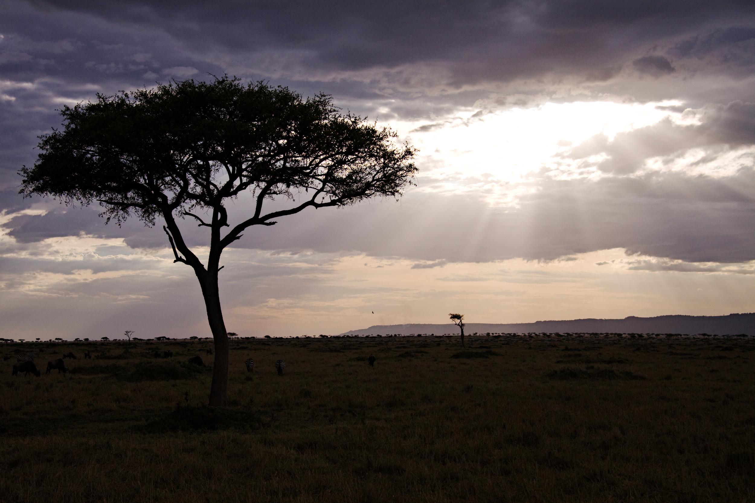 Acacia Tree, Masai Mara
