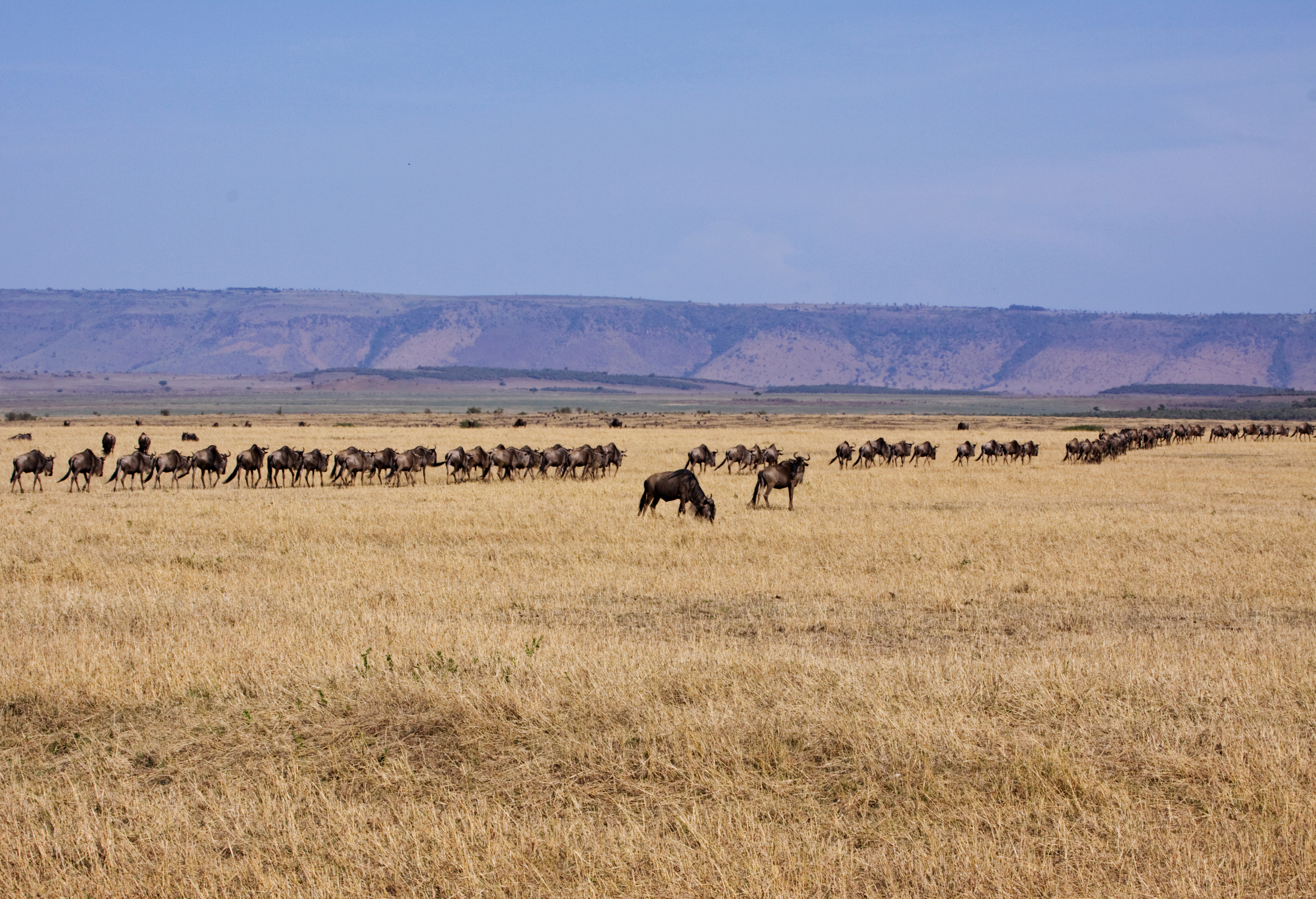 Migration of the Wildebeest from the Masai Mara to the Serengeti Plain in Tanzania