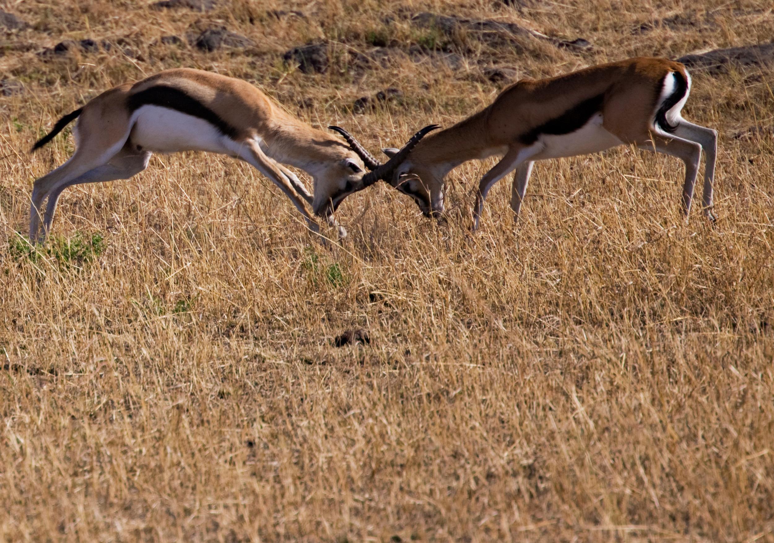 Grant Gazelles Squaring off, Masai Mara