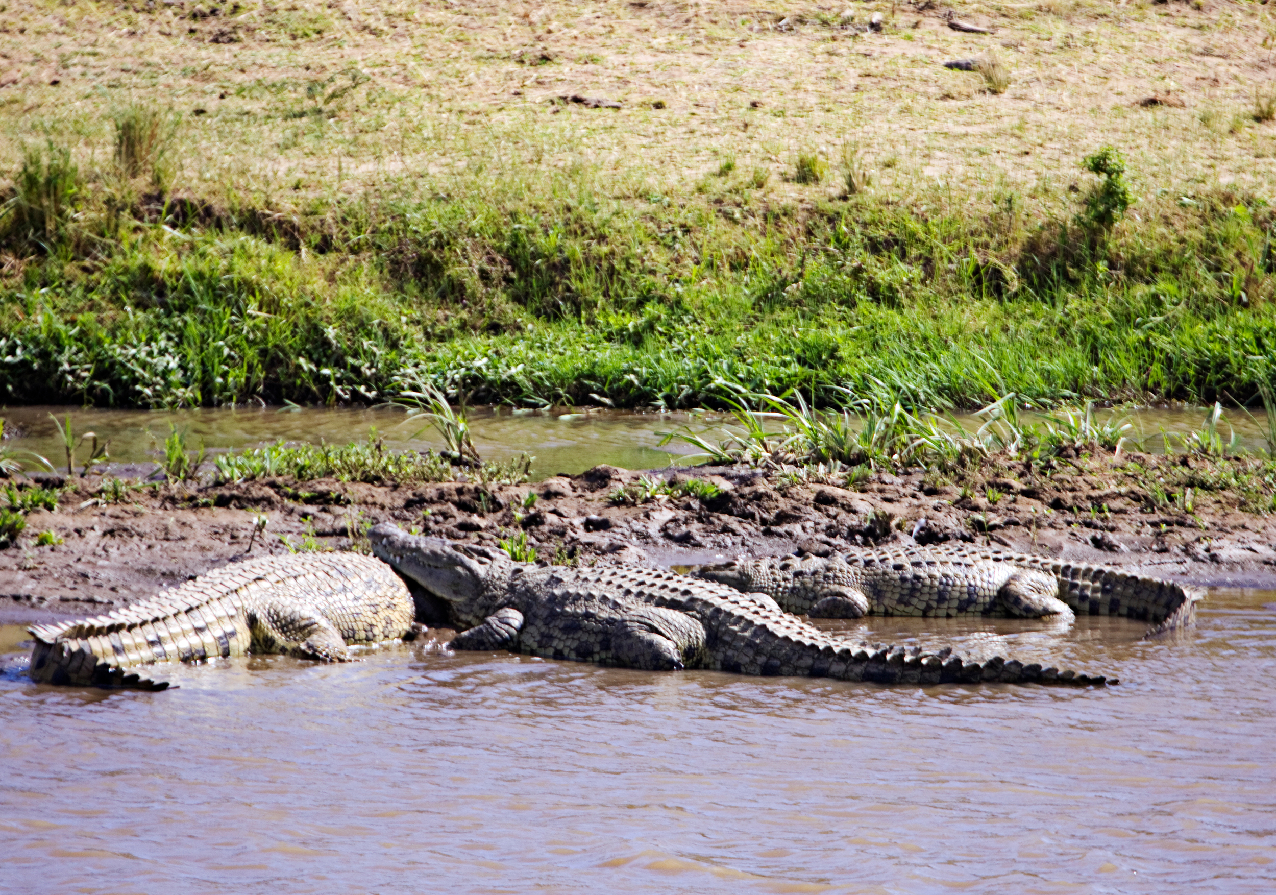 Crocodiles, Mara River, Masai Mara