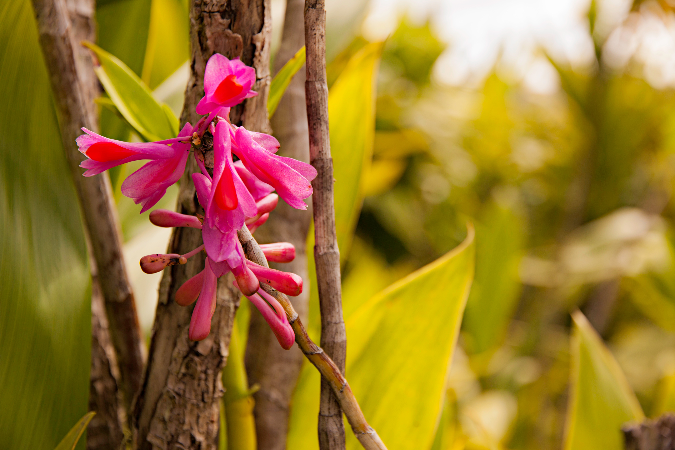 Orchid, Mount Hagen
