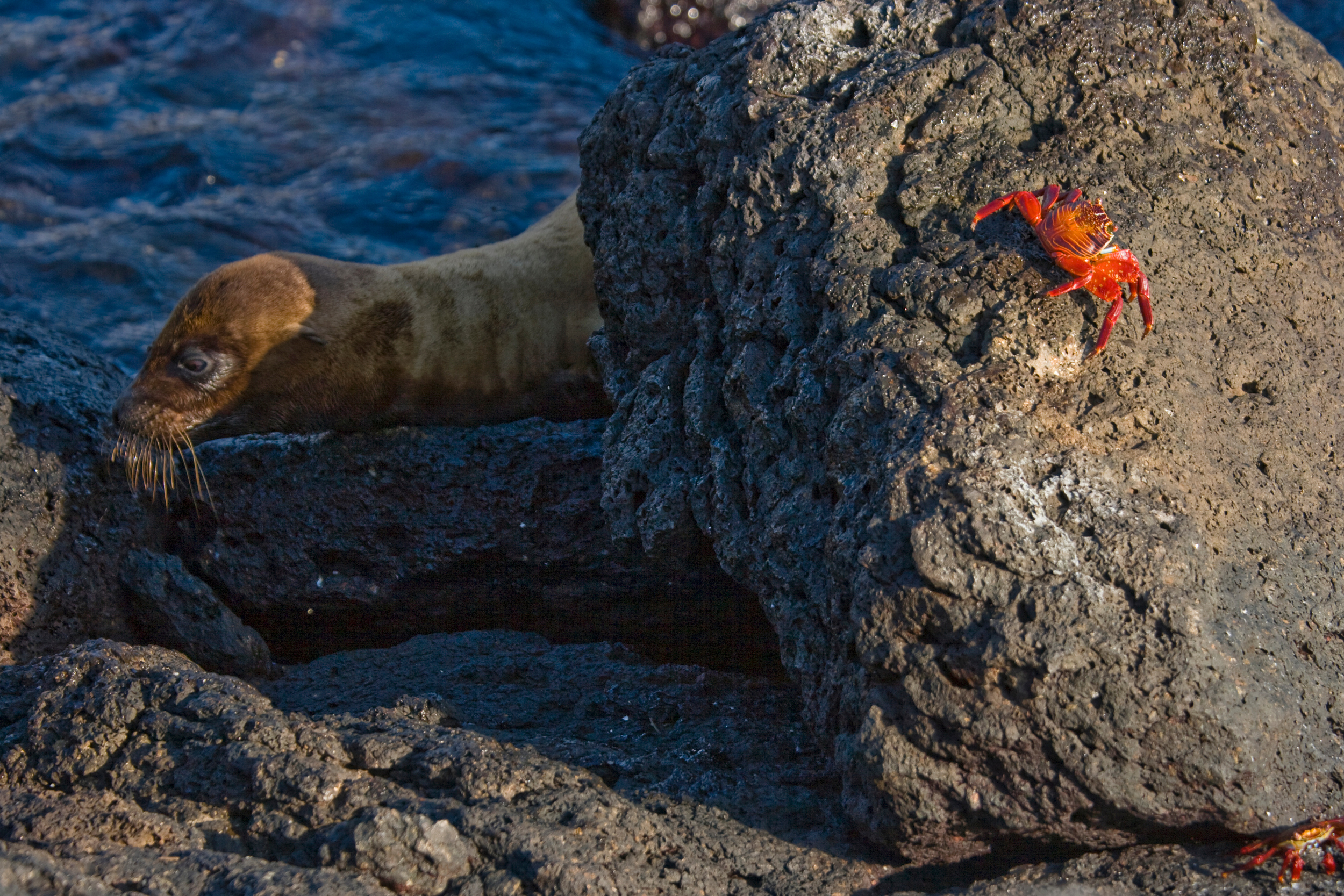 Sea Lion with Crab