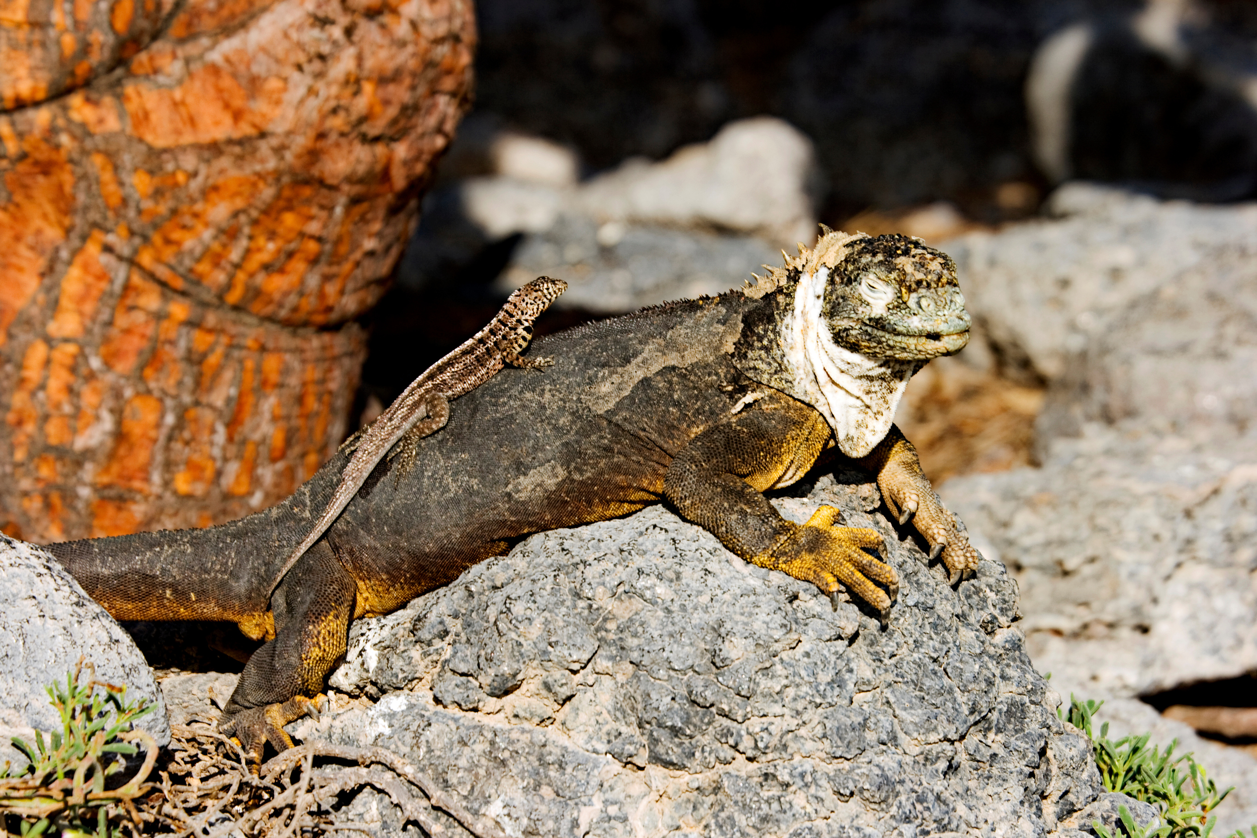 Land Iguana with Lava Lizard