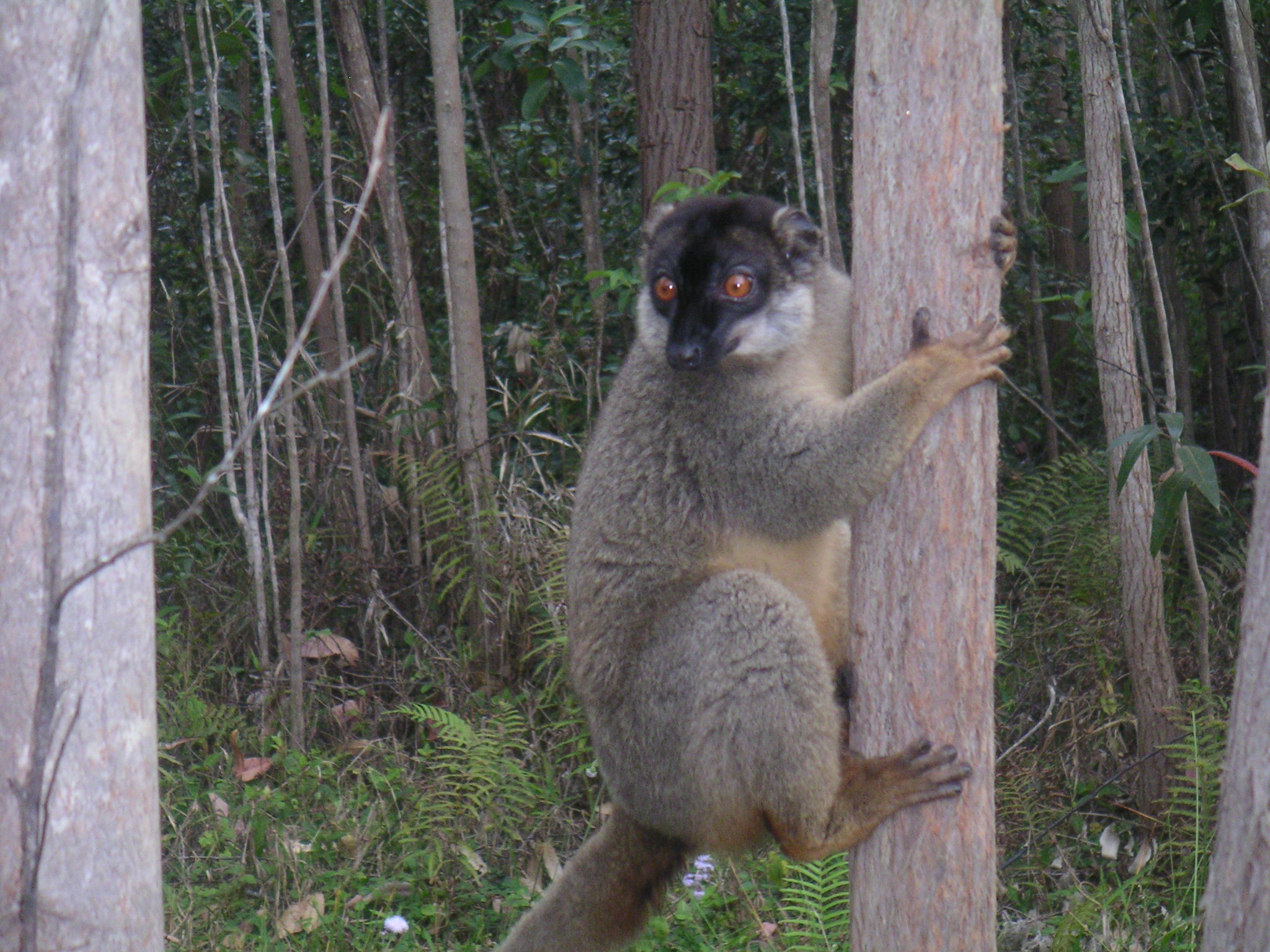 Brown Lemur, Berenty, Madagascar