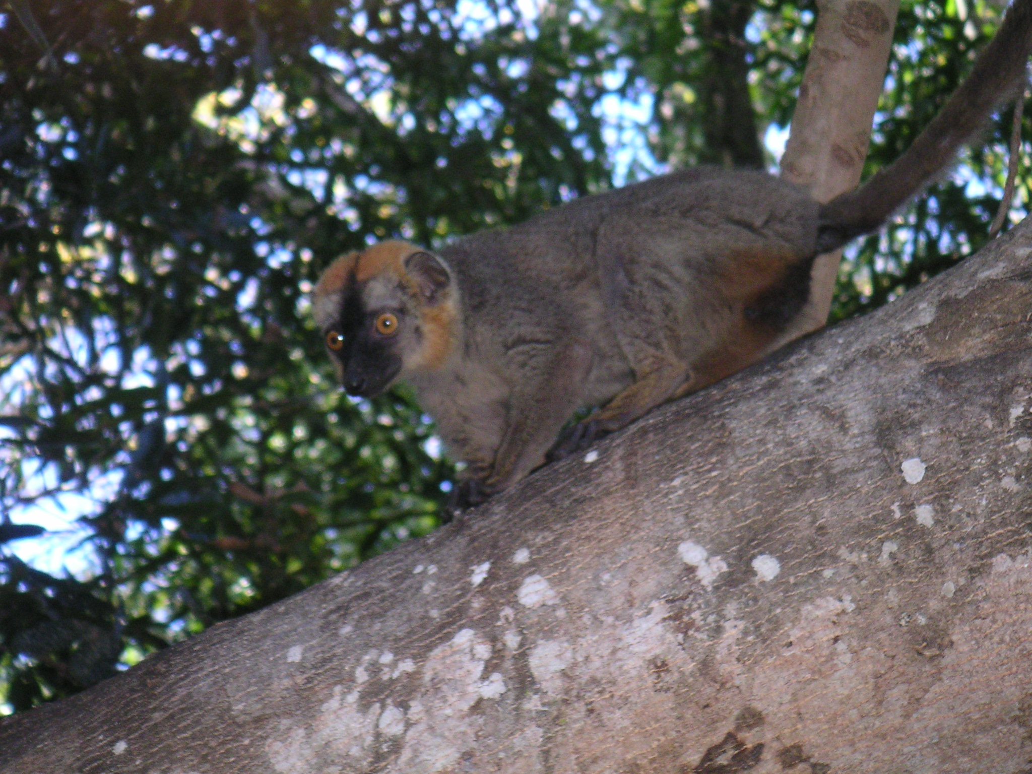 Brown Lemur, Madagascar