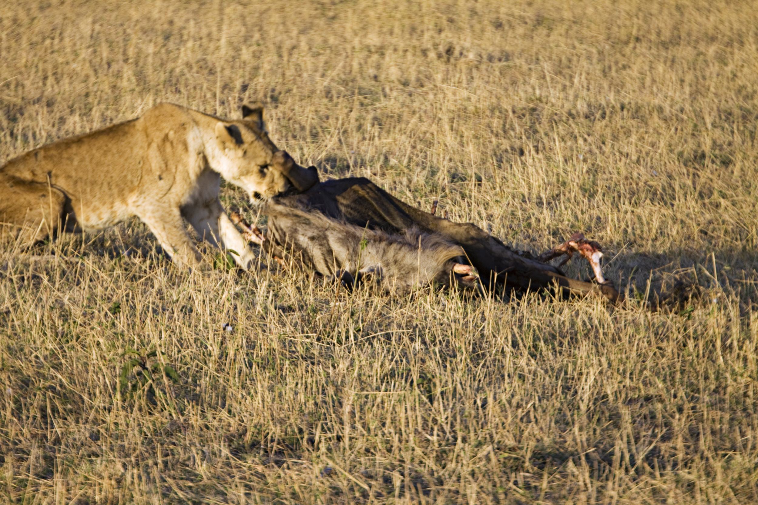 Female lion with a Wildabeest kill early in the morning