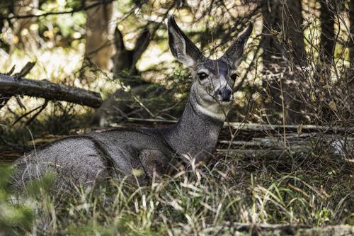 Grand Teton Deer