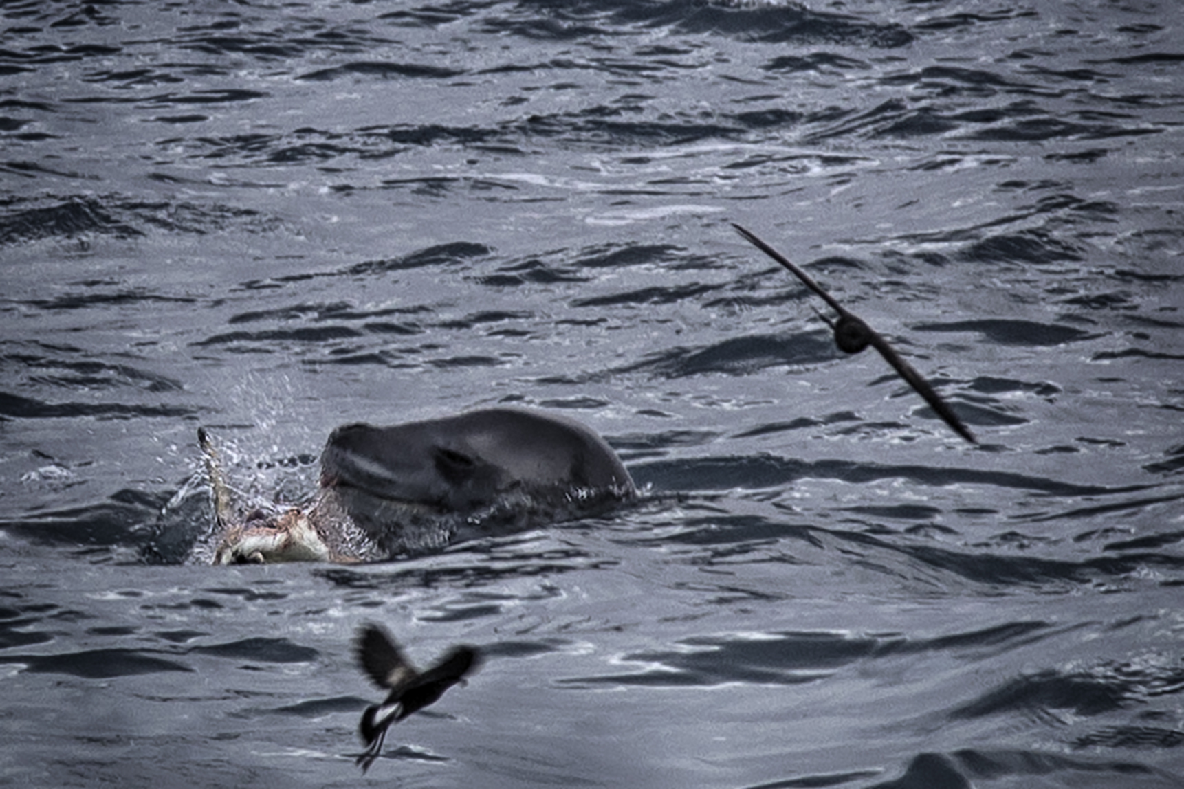 Lion Seal Taking Down a Penguin on Elephant Island