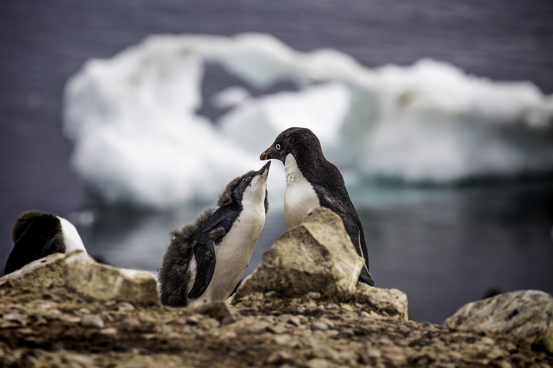 Gentoo Penguin with Chick on Brown Bluff