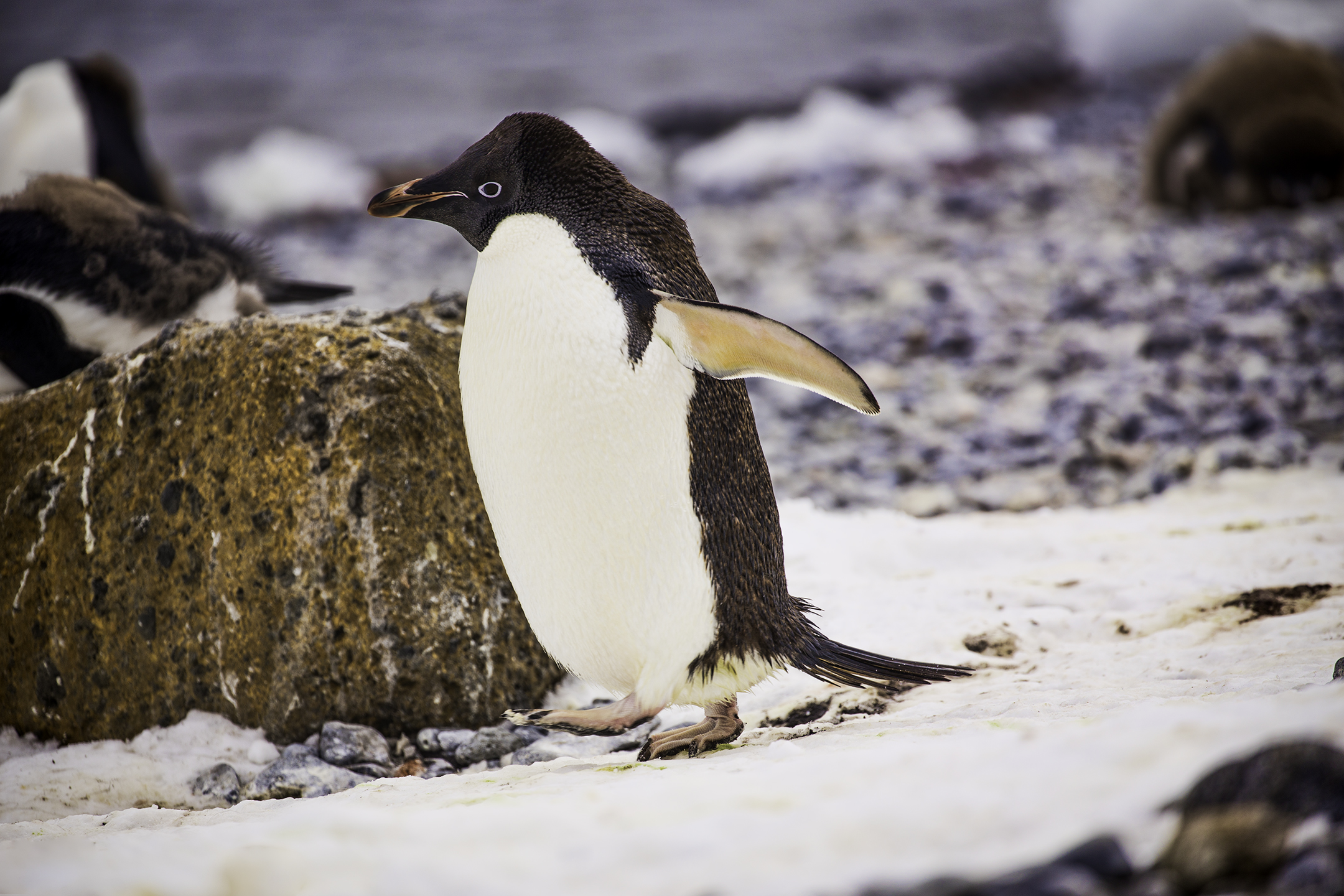 Adelie Penguin on Brown Bluff