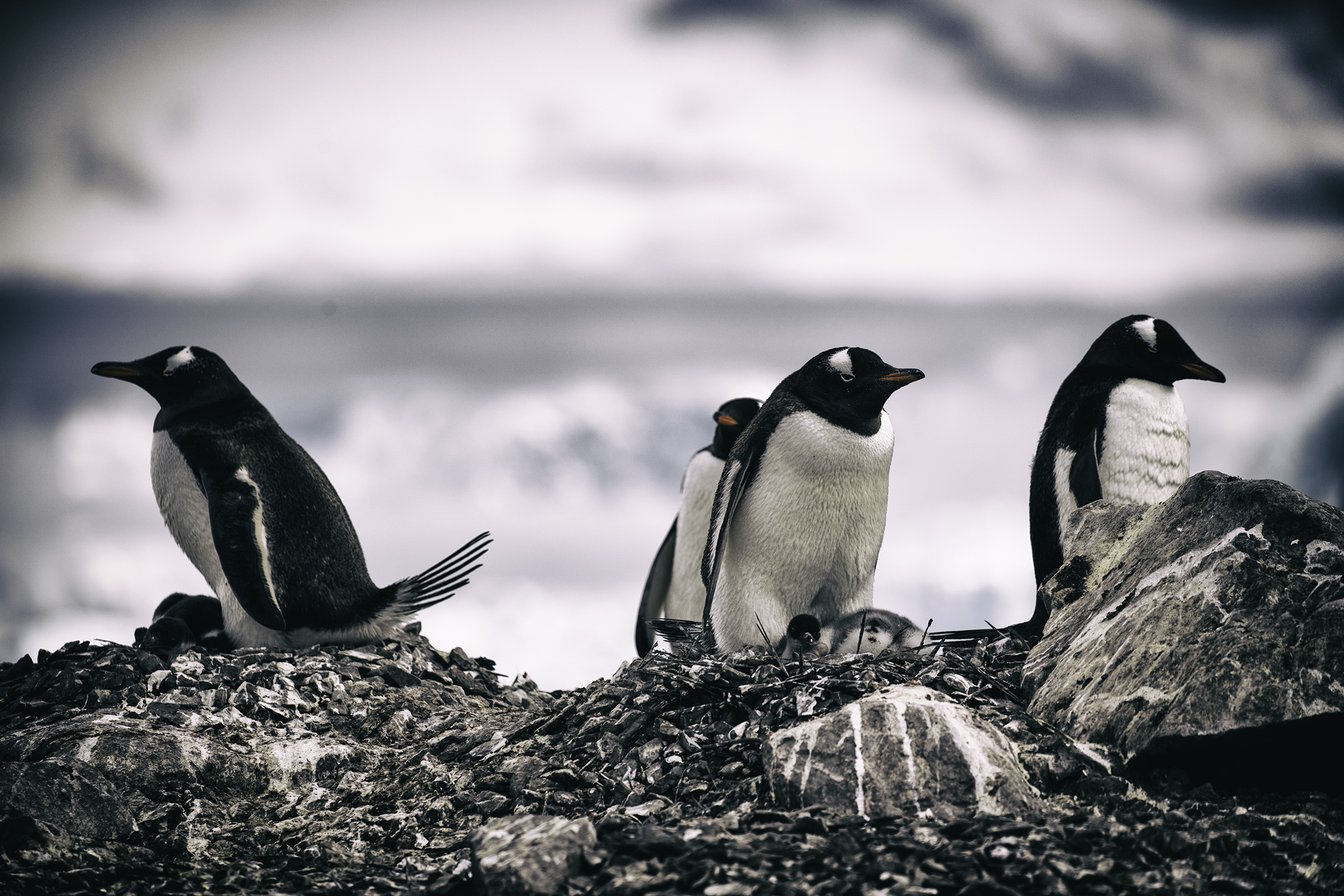 Gentoo Penguins on Neko Harbor