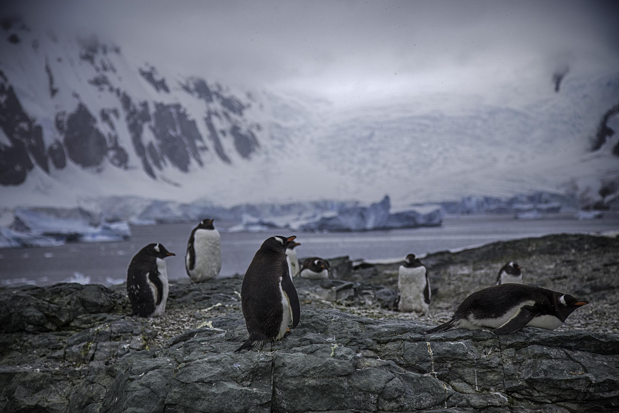 Gentoo Penguins on Danco Island
