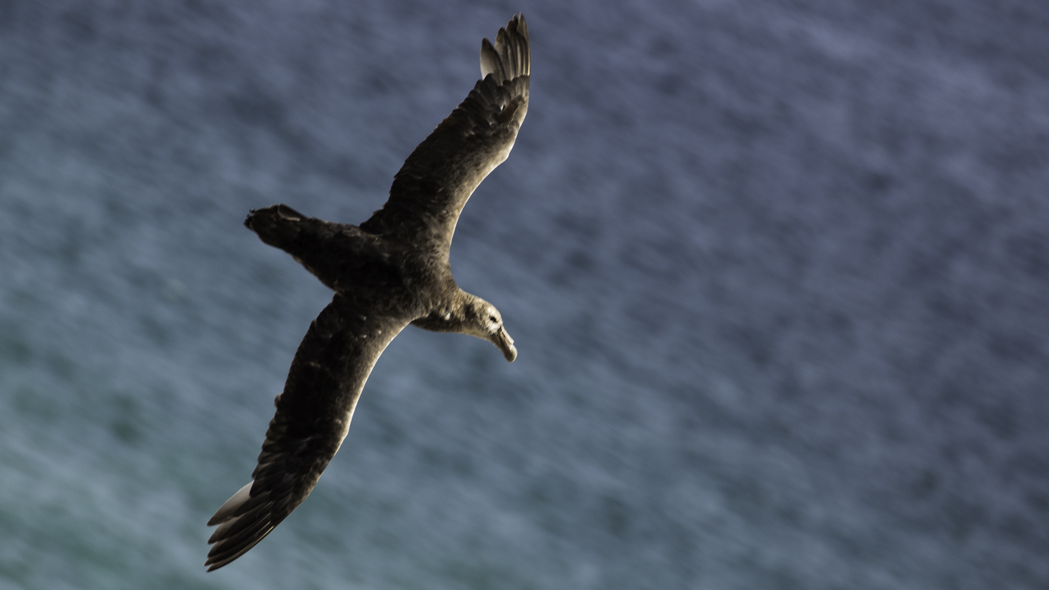 Falkland Diving Petrel