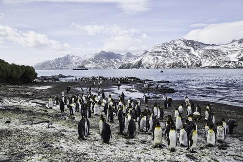 king penguins St. Andrew's Bay South Georgia.jpg