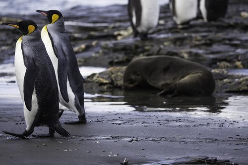 King-Penguins-Elephant-Seals-2.jpg