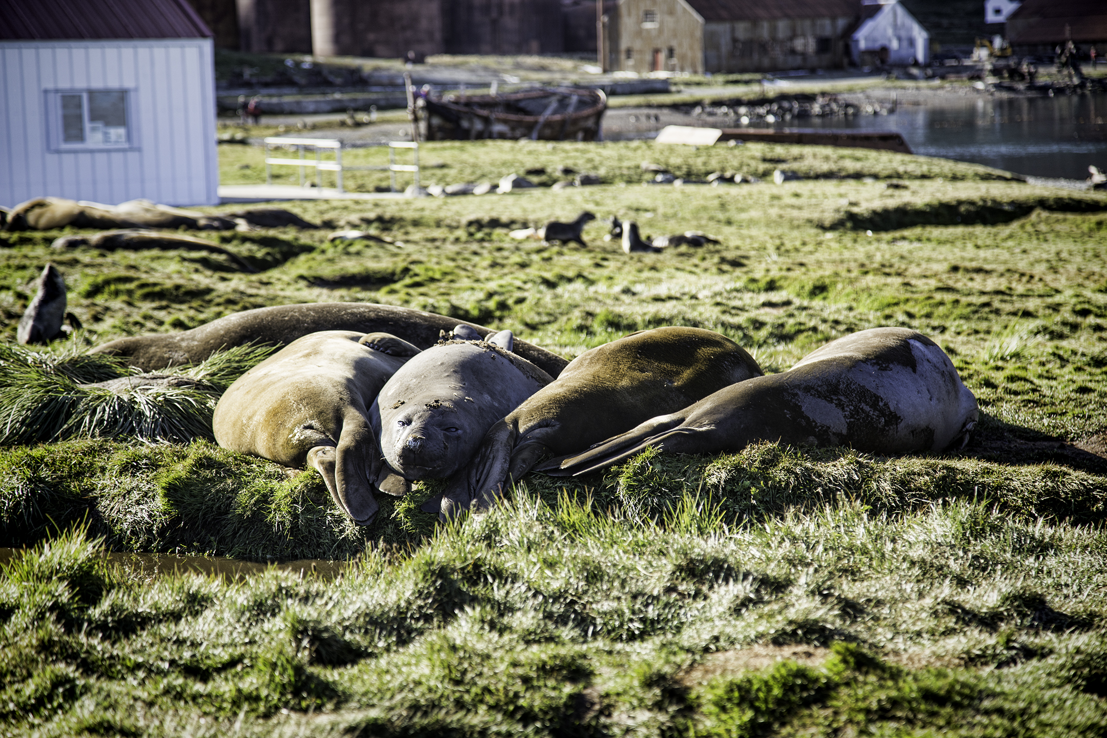 elephant-seals-grytviken.jpeg