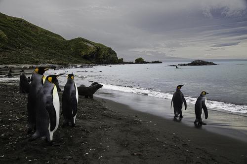 King Penguins and Fur Seals