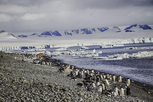 adelie-penguins-bown-bluff.jpg