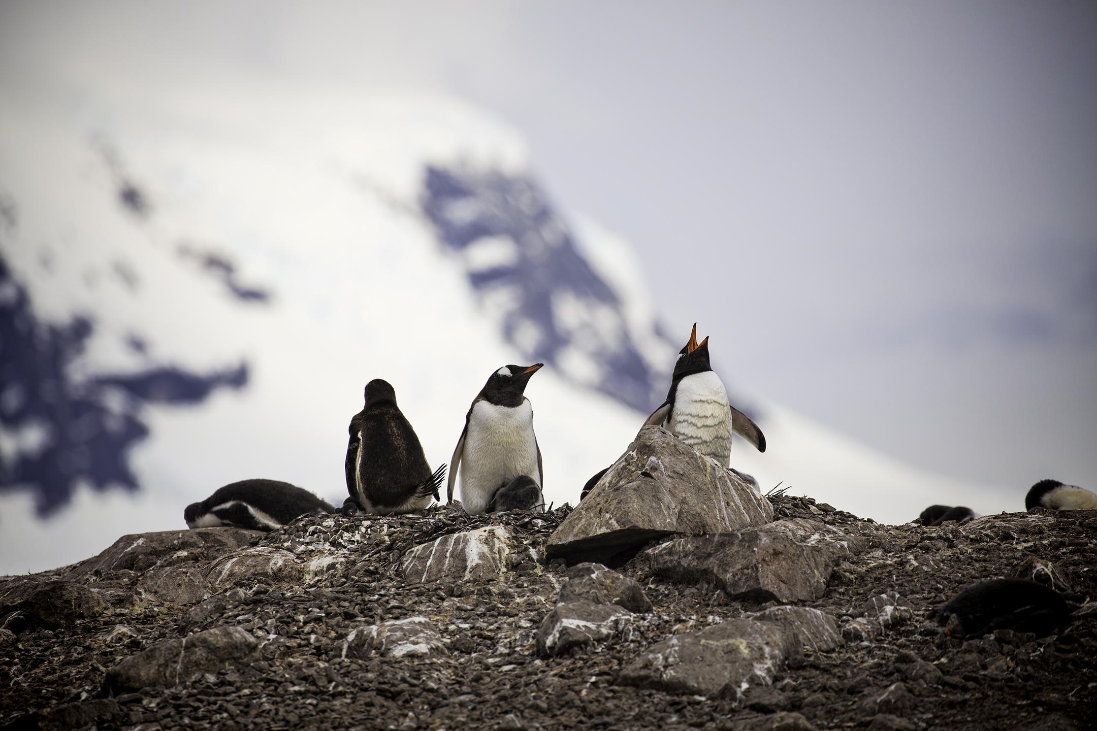gentoo-penguins-neko-harbor.jpg