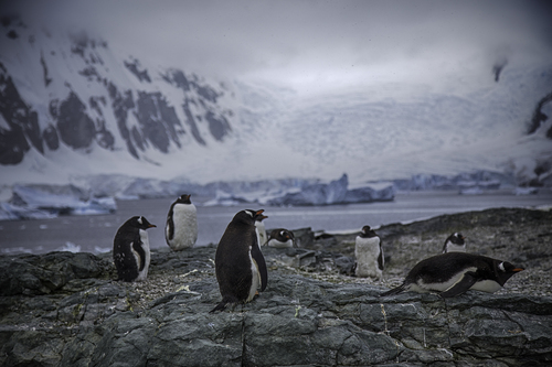 gentoo-penguins-danco-island.jpg