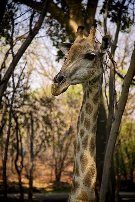 South African Giraffe, Mosi-au-Tunya National Park