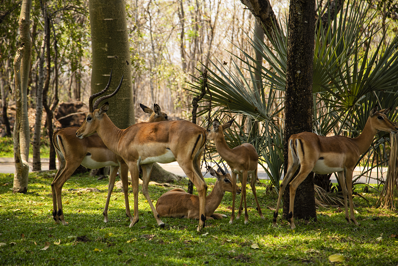 Impalas, Mosi-au-Tunya National Park