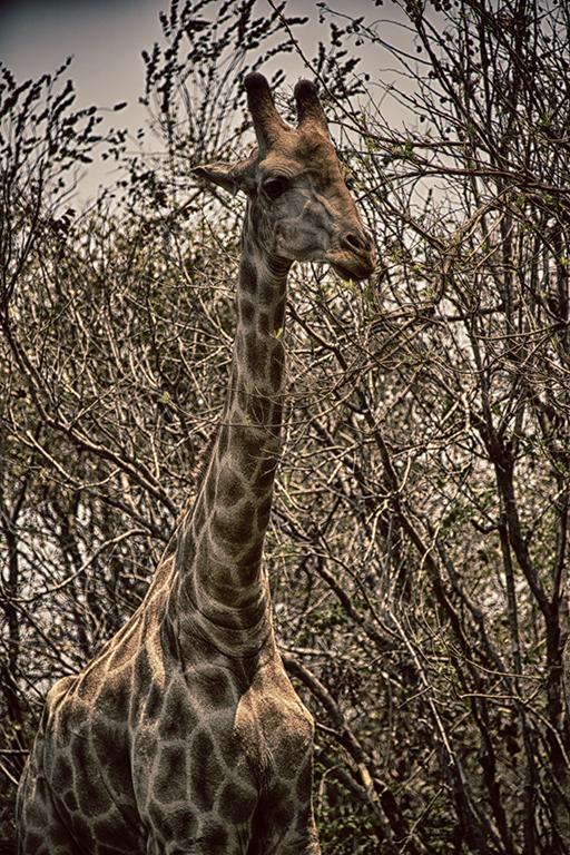 Giraffe, Mosi-au-Tunya National Park