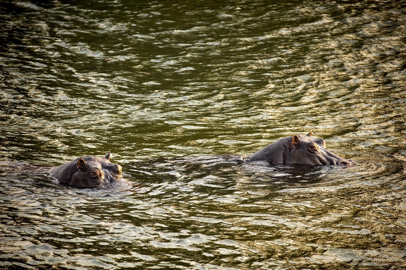 Hippos, Zambezi River