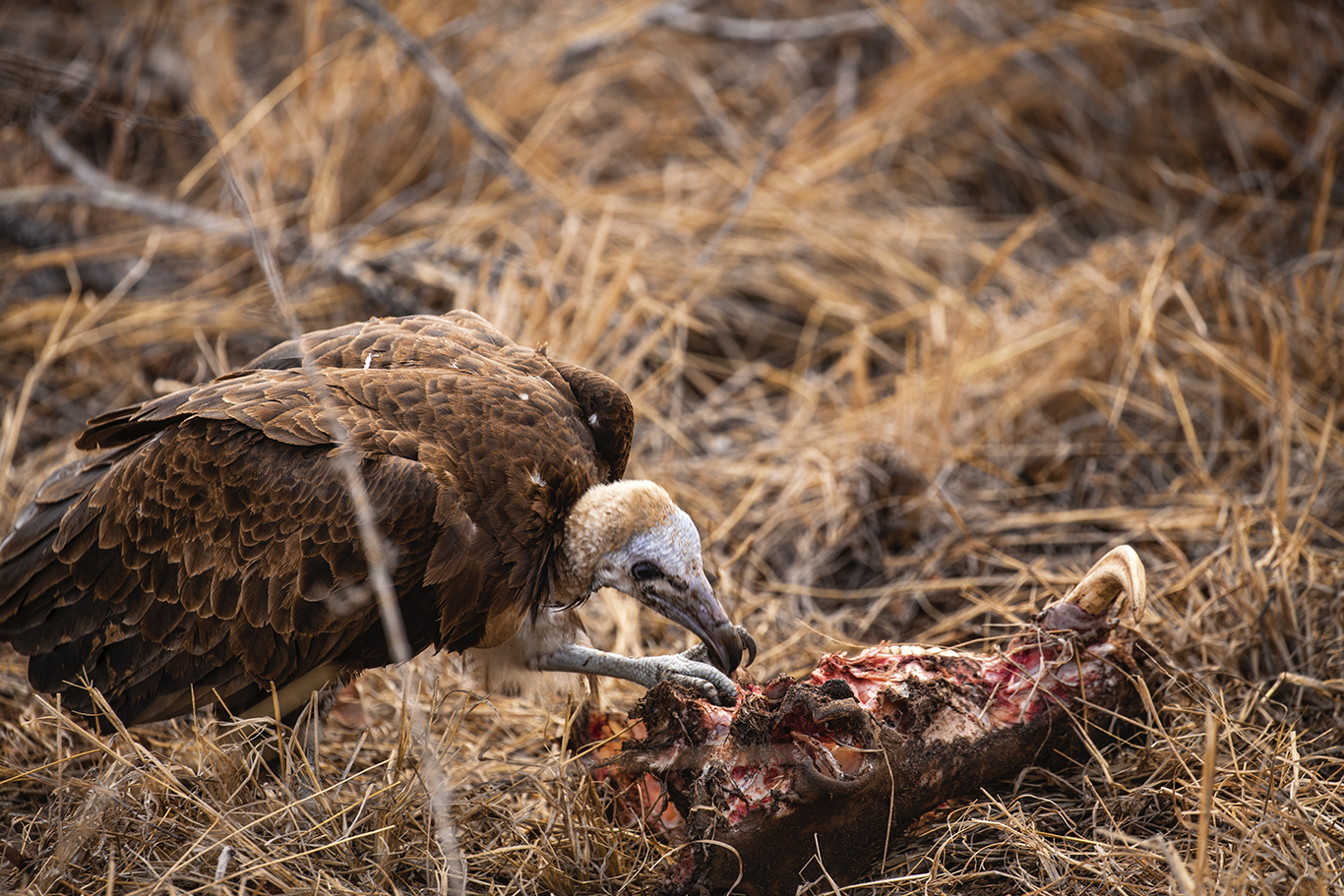 Vulture with Remains of Warthog from a Lion Kill